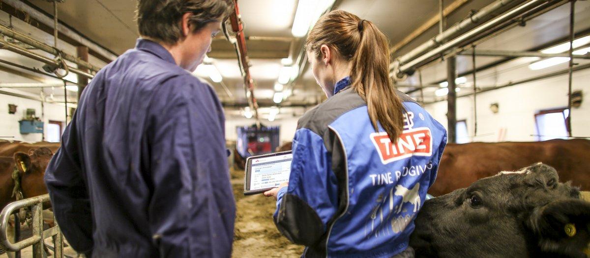 """Jede Kuh in den norwegischen TINE-Farmen hat ihren eigenen digitalen Gesundheitspass. Das System """"ku control"""" wurde von TINE zur Verbesserung der Tiergesundheit und der Sicherheit der Lebensmittel entwickelt. Jetzt soll das System weltweit exportiert werden.©Tine"""